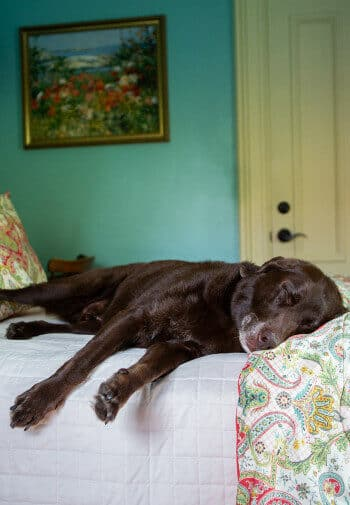 brown dog sleeping on twin bed with floral comforter in green room with yellow door, framed picture on wall.